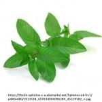 daun kemangi untuk herbal