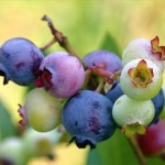 blueberry sumber flavonoid