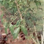 buah makasar