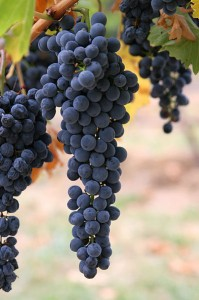 397px-Wine_grapes03