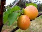 buah aprikot apricot